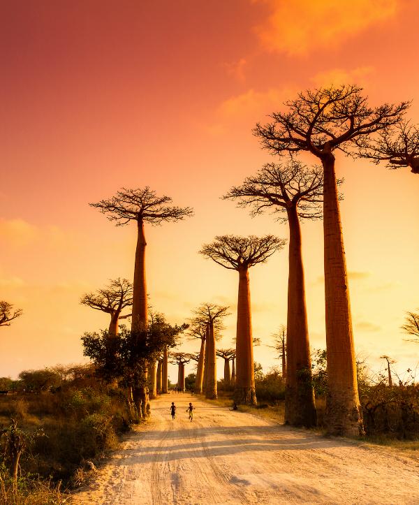 Árbol Baobab